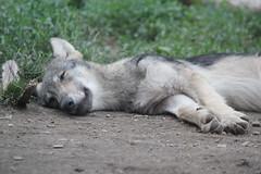 昼寝オオカミ