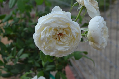 Clair Austin roses (3)