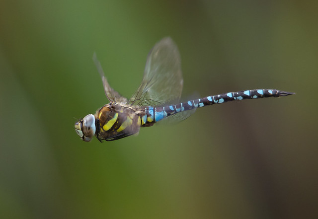 Migrant hawker in flight 3