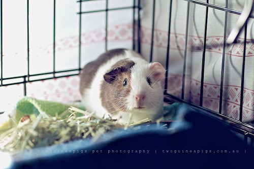 At home, guinea pig Gertrude's portrait by twoguineapigs pet photography