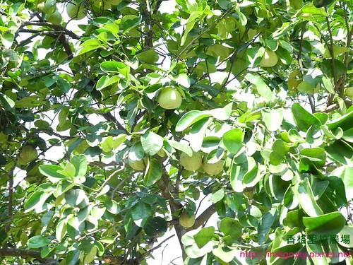 香格里拉農場22E-柚子