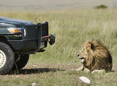 defiance (matt duke) Tags: africa animal kenya wildlife lion safari landrover defiance masaimara