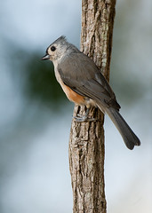 Tufted Titmouse (Lee Anne Russell) Tags: bird farm baeolophusbicolor 600mm d3x