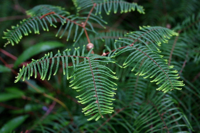 Pouched Coral Fern