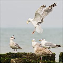 Opzouten!! - Piss off!! (TenZNL.com) Tags: seagulls pentax zeeland landing meeuwen k5 bif sigma100300 pissoff domburg opzouten mijnplek tenznl aandekant