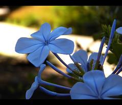 Beautiful Light Blue (btn1131 www.needGod.com) Tags: flowers plants nature floral kodak plumbago clevelandzoo z990