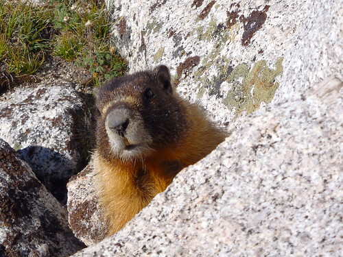 Marmot at Whitney Trail Camp
