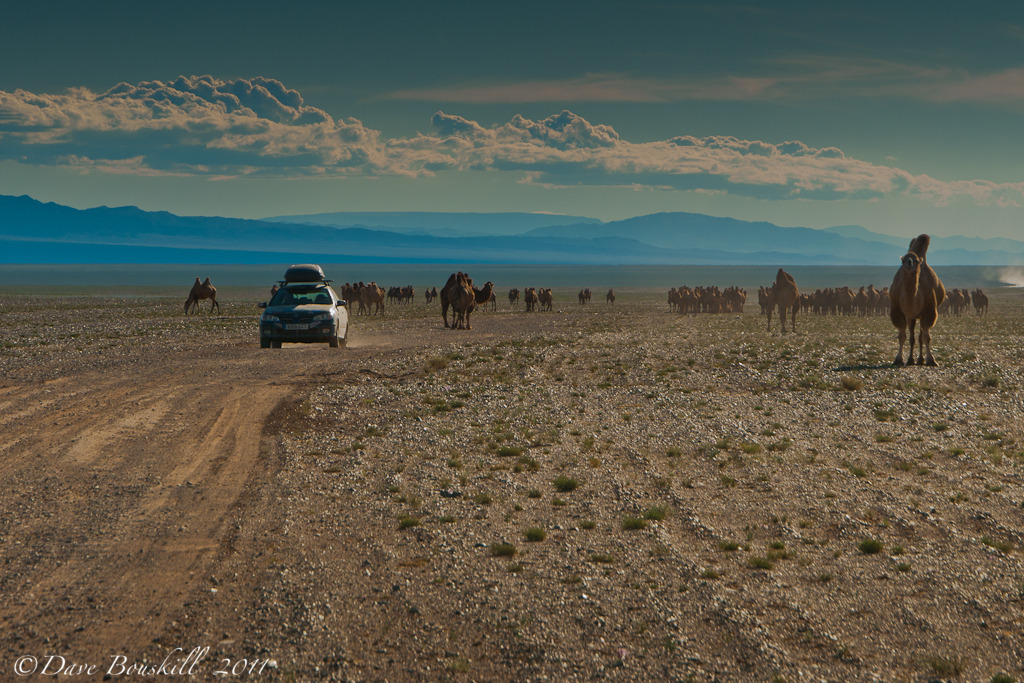 car driving through camels in mongolia desert