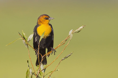 Warm Light Yellow-headed Blackbird by Jeff Dyck