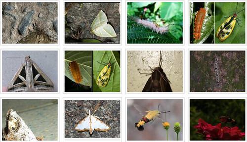 台灣蛾類約4000多種,守護蛾類多樣性,特生中心推台灣飛蛾之夜。圖片來源:臉書「慕光之城」社團