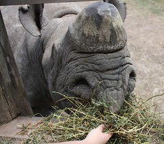 Feeding the Rhino (Sum_of_Marc) Tags: africa ol kenya centre rhino information kenia sanctuary afrique conservancy baraka morani pejeta  olpejeta  republicofkenya  moraniinformationcentre