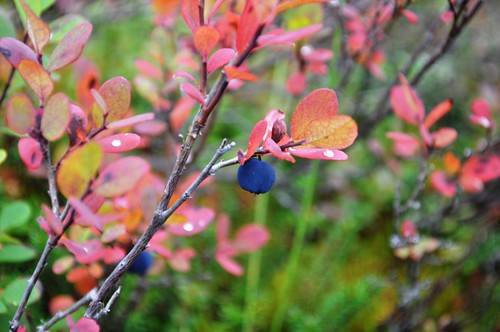 Sweet Blueberry in Denali National Park, Aug. 2011