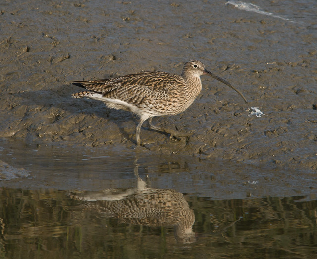 curlew 2