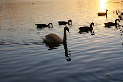 IMG_6068 (christophemurphy) Tags: sunset lake geese swan ducks boating rickmansworth aquadrome