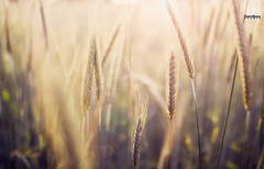 bye, bye cornfields, see you again next year! (Maegondo) Tags: light sunset summer sun field illustration photoshop canon germany bayern deutschland bavaria corn cornfield dof bokeh 14 sigma processing dreamy depth creamy schrfentiefe ingolstadt 30mm eos550d