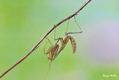 Mantis (Sergio Miras) Tags: naturaleza macro fauna mantis insect nikon jardin bosque bichos bicho rama jardín insecto religiosa forestal macrofotografia macrofotografía mantisreligiosa naturalaeza