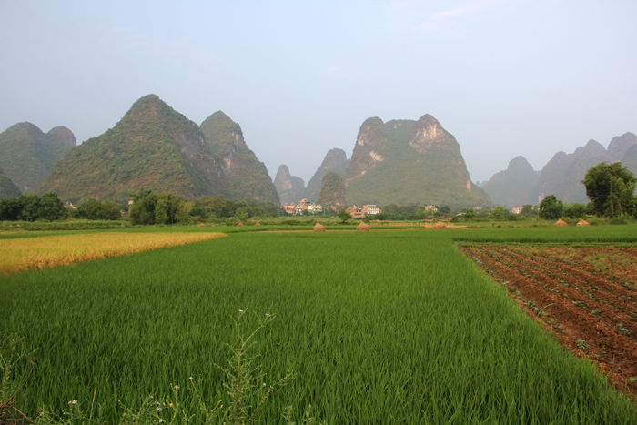 chinese rice farming essay Rice, the grain of culture and various types of food s produced in a rice farm such as fish, prawn, crab, and some domesticated animals such as cow.