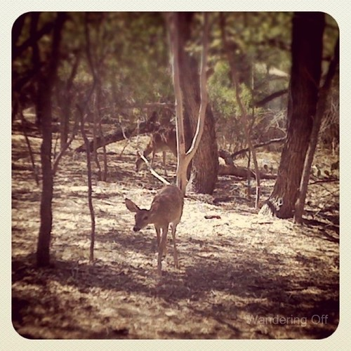 Fawn at OP Schnabel Park