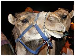 Simpático (Patataasada) Tags: animal night noche huesca camel camello mercadomedieval jaca dromedario