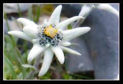 Edelweiss (filsduvent59) Tags: wild mountain france flower montagne alpes blanc 30d queyras sauvage naturesfinest hautesalpes canon30d edelweis travelerphotos