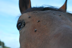 O.K. its a horse! (Di's Free Range Fotos) Tags: uk horse west eye face animal closeup sussex countryside head ears flies annoying pest annoyed irritated hassle annoy irritate pester aggravate
