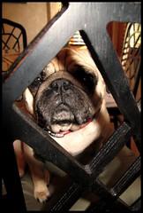 """""""Are you leaving me again?"""" (geraldbrazell) Tags: dog pug geraldbrazell banditthepug"""
