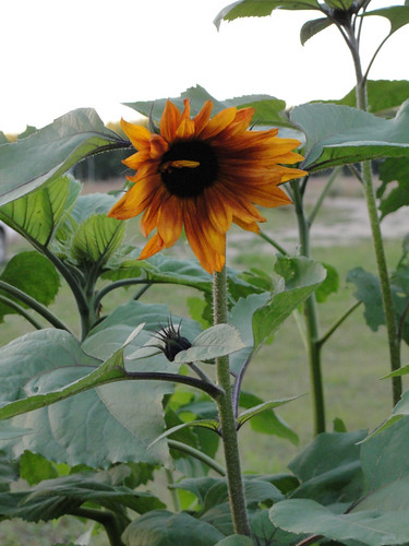 Orange/Red sunflower