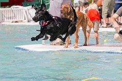 Flying Black Lab (Anda74) Tags: water pool swimming jump dive blacklab labradorretriever canonef70200mmf4lusm barkerdays