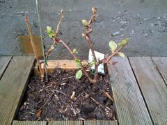 Kiwifruit Planting