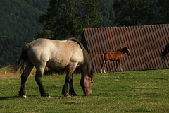 Paltinis (bortescristian) Tags: trees sunset summer horses mountain mountains tree slr nature beautiful grass digital canon landscape photography eos rebel photo kiss foto fotografie image donkeys picture august natura romania imagine cai cristian munti lonly carpati roumanie iarba apus poze poza vara 500d copac 2011 copaci paltinis magari fotografii imagini bortes bortescristian cristianbortes x3l t1i