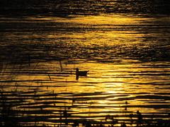 Seagull in sunset (asrlloyd) Tags: ocean autumn sunset color bird water grass island novascotia view seagull gull atlantic ripples capesableisland canonpowershotsx30is