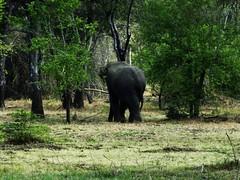 Elephantine Butt (Janesha B) Tags: nature srilanka wildlifeimages asianelephants asiaticelephants wildlifepictures