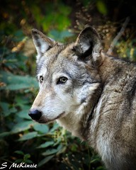 Wolf (S McKinzie / McKustoms) Tags: coyote wolf wildlife pack howl greatphotos