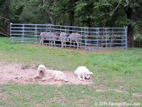 Donkeyland guard dogs 3 - FarmgirlFare.com