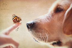 "Happy Texture Tuesday ~ ""It's the Little Things"" eDition (VeryViVi) Tags: dog goldenretriever canon butterfly puppy sweet doggy vivi textured gentle flickrfrontpage thelittledoglaughed texturetuesday raisingbutterflies missvivigold kimklassen veryvivi ldlportraits"