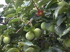 quince tree