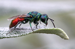 Ruby-tailed wasp (nutmeg66) Tags: wasp august lincolnshire gibraltarpoint 2011 rubytailedwasp onephotoweeklycontestweek43