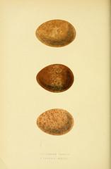 history birds europe harvarduniversity ornithology mcz ernstmayrlibrary pictorialworks taxonomy:binomial=falcobiarmicus taxonomy:binomial=falcopelegrinoides bhl:page=33703925 dc:identifier=httpbiodiversitylibraryorgpage33703925