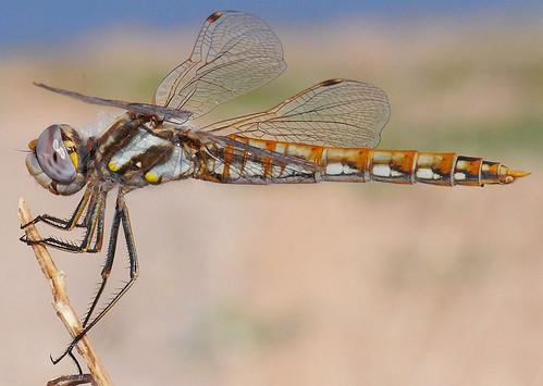 Variegated Meadowhawk - female