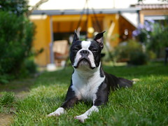 Proud Boston Terrier