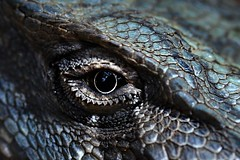 dragon eye of indigo blue (paloetic) Tags: eye reptile australia lizard scavengerhunt beardeddragon australianwildlife atsh atsh50 clueicanseeclearlynow