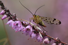 scorpionfly ( female ) (bugman11) Tags: flowers flower macro nature animal animals fauna canon bug insect fly flora nederland thenetherlands insects bugs flies wow1 100mm28lmacro