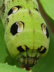 Elephant Hawk-Moth Larva (algo) Tags: england black green butterfly insect chilterns fuchsia caterpillar algo swallowtail larva elephanthawkmothcaterpillar