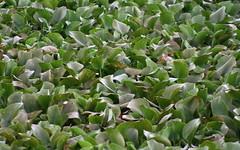 Pattern (Nagarjun) Tags: birds bangalore herons madivala madiwala spotbilledpelicans egerts