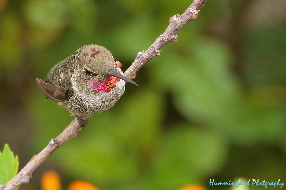 Anna's Hummingbird 082311-2