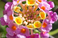 Beautiful flowers (AeroFluxe) Tags: slt a55 sal50m28