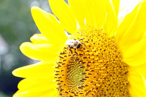 Maine - sunflower with bee