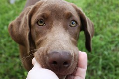 Zilly, A Special Pup (Flat Coat Whimsy) Tags: portrait face puppy eyes lab chocolate zilly