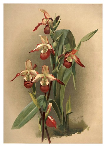027-Cypripedium Lemoinierianum-Reichenbachia-Orchids illustrated and described..VolI I-1888-F.Sander