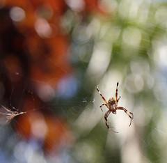 Garden Spider 1 (lstarner (Lynn)) Tags: nature spider web canonefs1755mmf28isusm